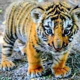 我是一只小老虎